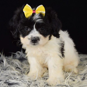 Lhasachon puppy for sale in WV