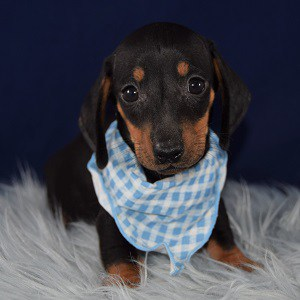 Mayo Dachshund puppy for sale in VA