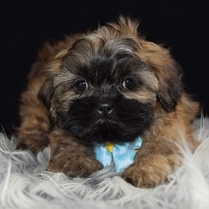 Archer Shih Tzu Puppy For Sale In Ma Puppies And Pet Supplies