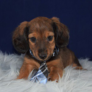 Asher Dachshund puppy for sale in MD