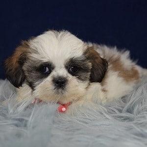Austin Shih Tzu puppy for sale in PA