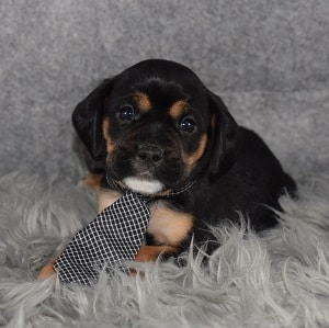 CavaJug Puppy For Sale – Batman, Male – Deposit Only