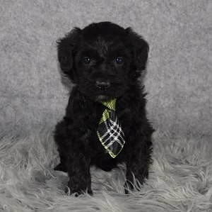 Schnoodle Puppy For Sale – Bo, Male – Deposit Only
