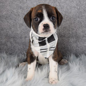 Brighton Caviston puppy for sale in NJ