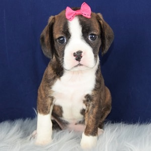 Briony Caviston puppy for sale in PA
