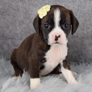 Britta Caviston puppy for sale in DE