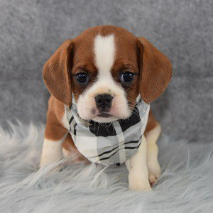 Bruno CavaJug puppy for sale in VA