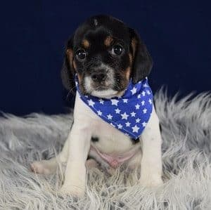 CavaJug puppy for sale in WV