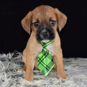CavaJug puppy for sale in VA