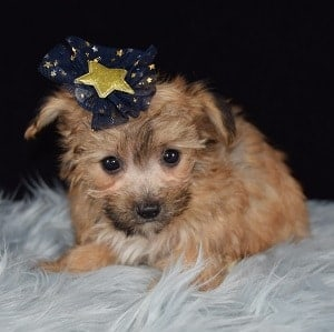 Coretta Yorkichon Puppy For Sale In Ri Puppies And Pet Supplies