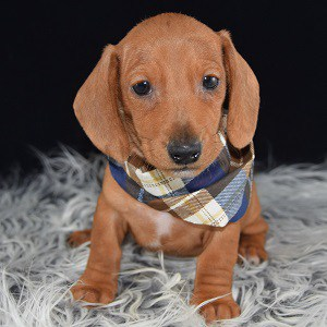 Dachshund Puppy For Sale Albie Puppies And Pet Supplies
