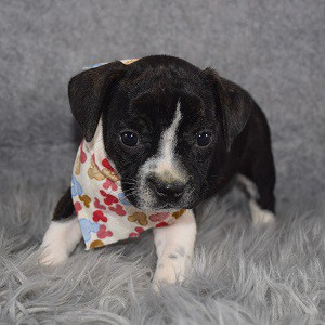 BoJack Puppy For Sale – Etta, Female – Deposit Only