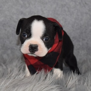 Boston Terrier Puppy For Sale – George, Male – Deposit Only