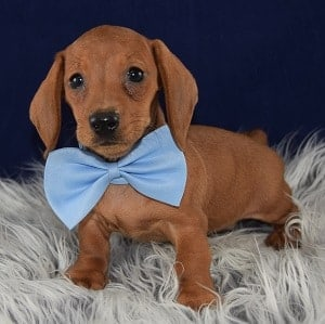 Summary Dachshund Breeders Amp Puppies For Sale Near Virginia