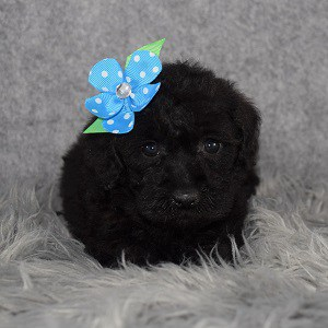 Private: Schnoodle Puppy For Sale – Jo, Female – Deposit Only
