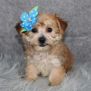 Yorkichon Puppy For Sale – Jojo, Female – Deposit Only