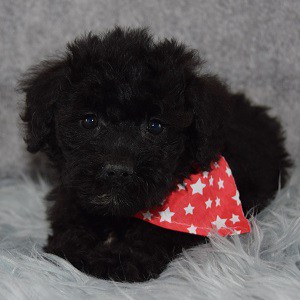 Judge Schnoodle puppy for sale in DC
