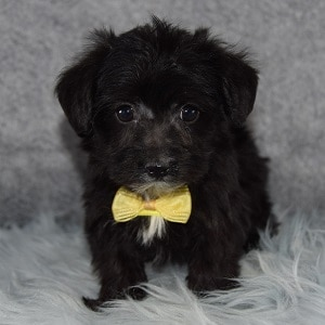 Kade Yorkichon puppy for sale in CT