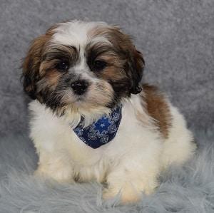 Male Shih Tzu Puppy For Sale Kale Puppies For Sale In Pa Dc Va De Nj
