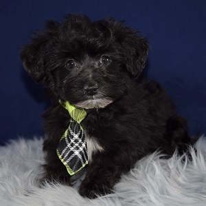 Kane Yorkichon puppy for sale in MD