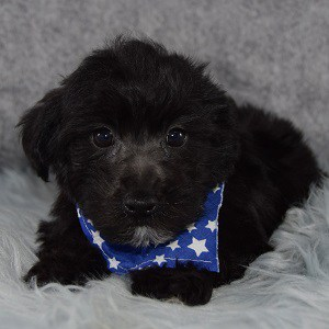 Kase Yorkichon puppy for sale in RI