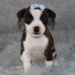 Lexus BoJack puppy for sale in MA