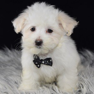 maltese-puppy-for-sale-charming