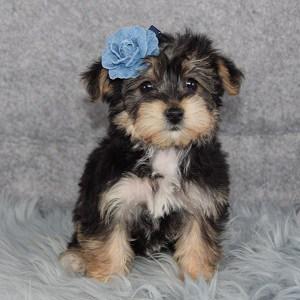 Millie Yorkichon puppy for sale in DE