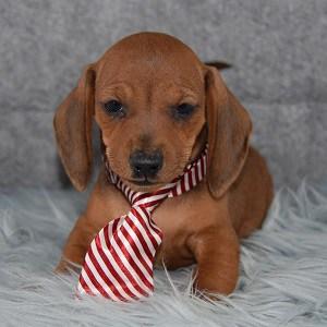 Mustard Dachshund puppy for sale in RI