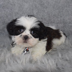 Shih Tzu Puppy For Sale – Pancake, Male – Deposit Only