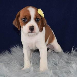 Patience CavaJug puppy for sale in DE