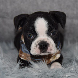 Pete Boston Terrier puppy for sale in CT