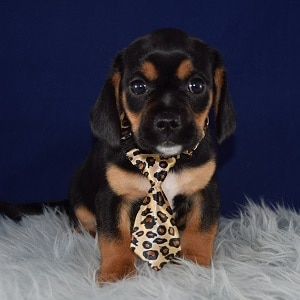 CavaJug Puppy For Sale – Rocky, Male – Deposit Only