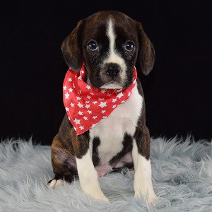 Rye Caviston puppy for sale in NJ