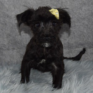Sage Yorkichon puppy for sale in NJ