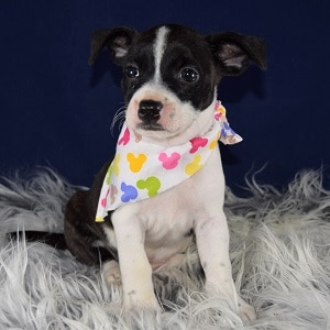 BoJack Puppy For Sale – Scarlet, Female – Deposit Only