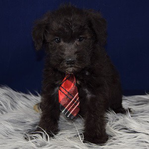 Schnoodle puppy for sale in CT