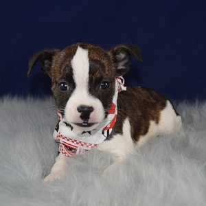 BoJack Puppy For Sale – Sheriff, Male – Deposit Only