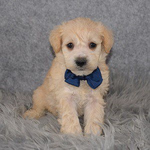 Schnoodle Puppy For Sale – Sirius, Male – Deposit Only