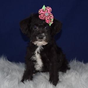 Schnoodle Puppy For Sale – Suzuki, Female – Deposit Only