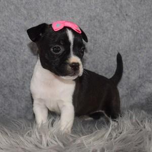 BoJack Puppy For Sale – Sydney, Female – Deposit Only