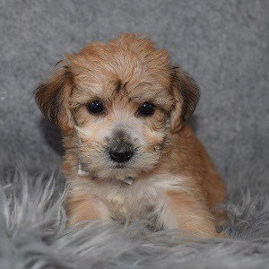 Yorkichon Puppy For Sale – Teague, Male – Deposit Only