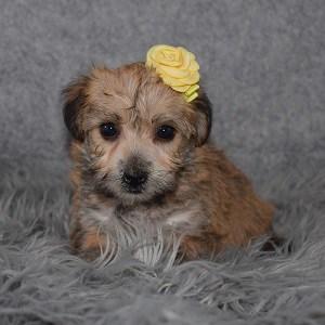 Yorkichon Puppy For Sale – Tessie, Female- Deposit Only