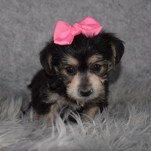 Yorkichon Puppy For Sale – Tianna, Female – Deposit Only
