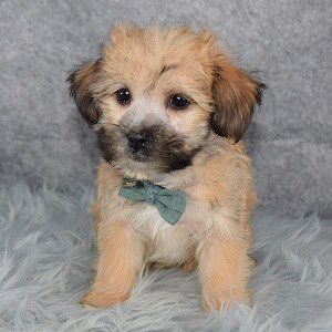 Yorkichon Puppy For Sale – Toto, Male- Deposit Only