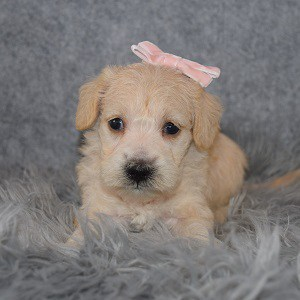Schnoodle Puppy For Sale – Vega, Female – Deposit Only