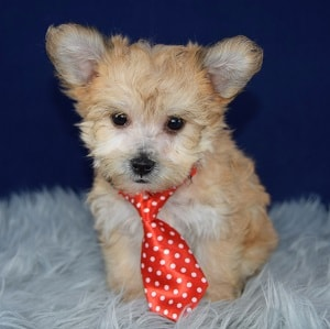 Yorkichon Puppy For Sale – Yoyo, Male – Deposit Only