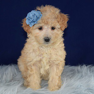 Alaska Cockapoo puppy for sale in DC