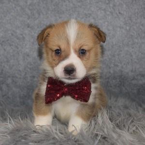 Pembroke Welsh Corgi Puppy For Sale – Banana, Male – Deposit Only
