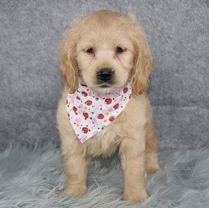 Cockapoo Puppy For Sale – Celery, Female – Deposit Only